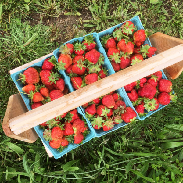 Strawberry Picking as a Family Tradition