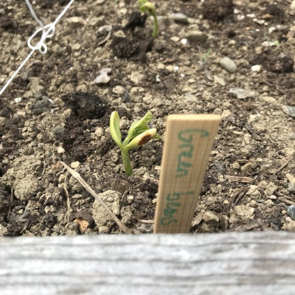 In Our Maine Garden: Week 2 … Or, Hey! Something's Growing!