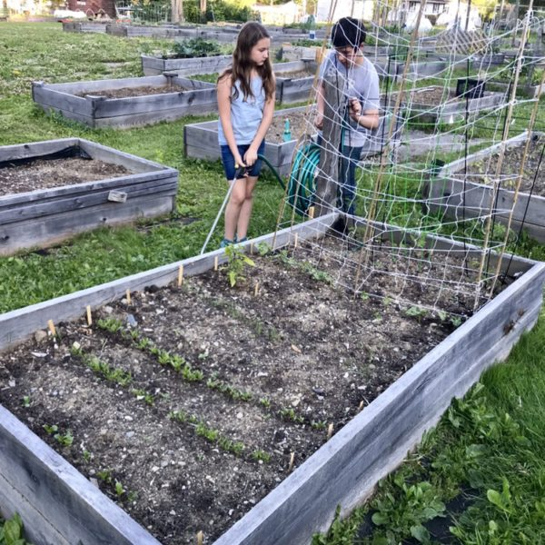 In Our Maine Garden: Week 3 … Or, Look at Those Rows!