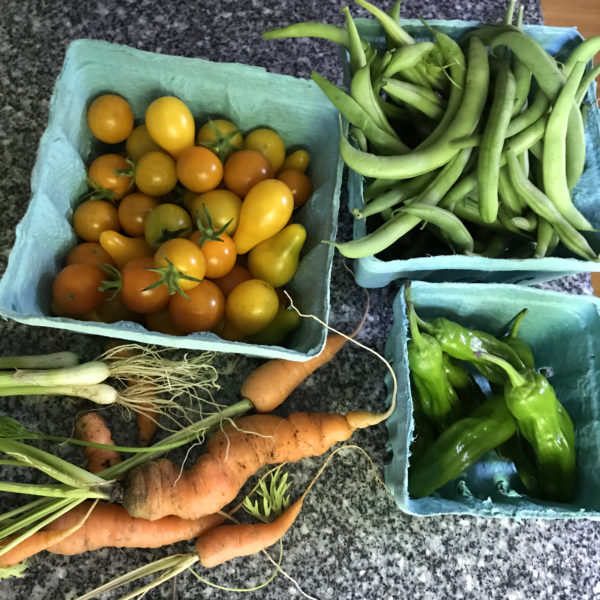 In Our Maine Garden, Week 7 … or the Tomatoes Cometh
