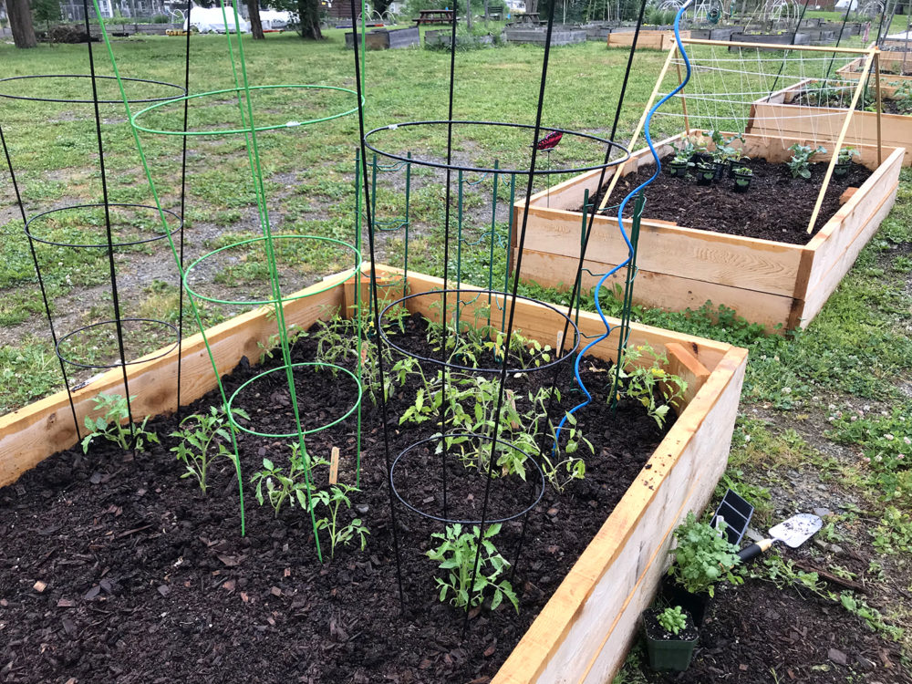 Caging tomatoes is made easier with a simple switch in technique. This image shows a wooden raised garden bed with multiple tomato plants in cages.
