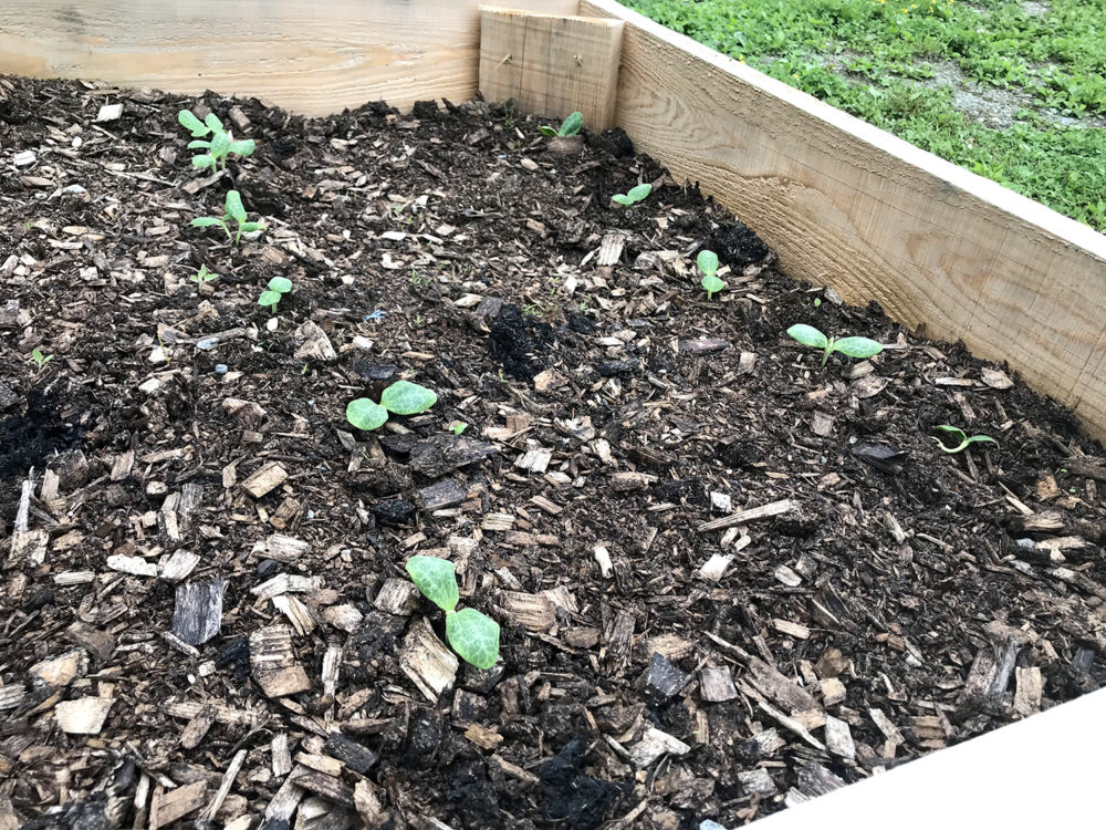Summer squash begins to grow in a raised bed.