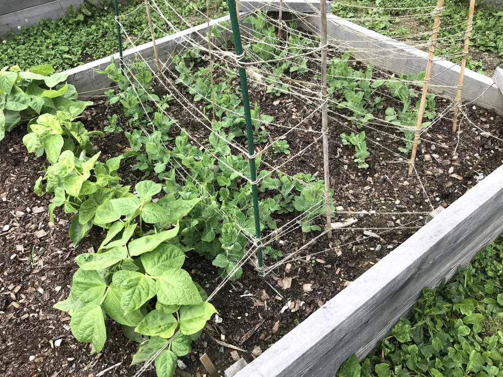Wax beans, sugar snap peas and sweet peas grow in a raised beed.