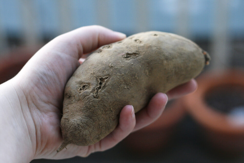 A raw sweet potato is held in a hand.